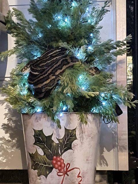 ¡Inesperado adorno! Una pareja en Australia encontró a una pitón enredada en su árbol de navidad