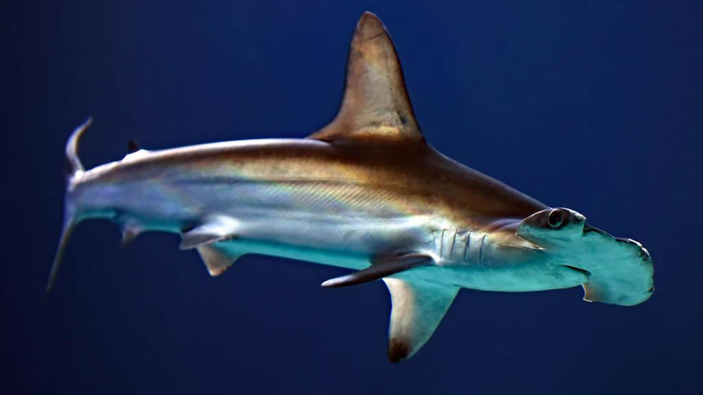 Tiburón martillo animal mar